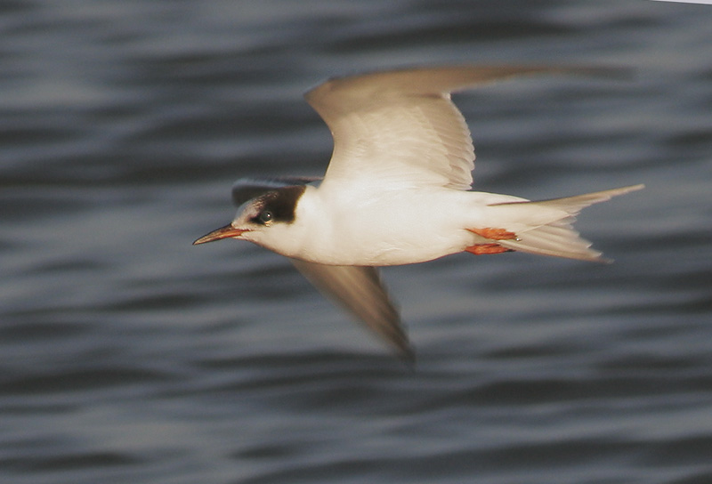 Arctic or Common Tern