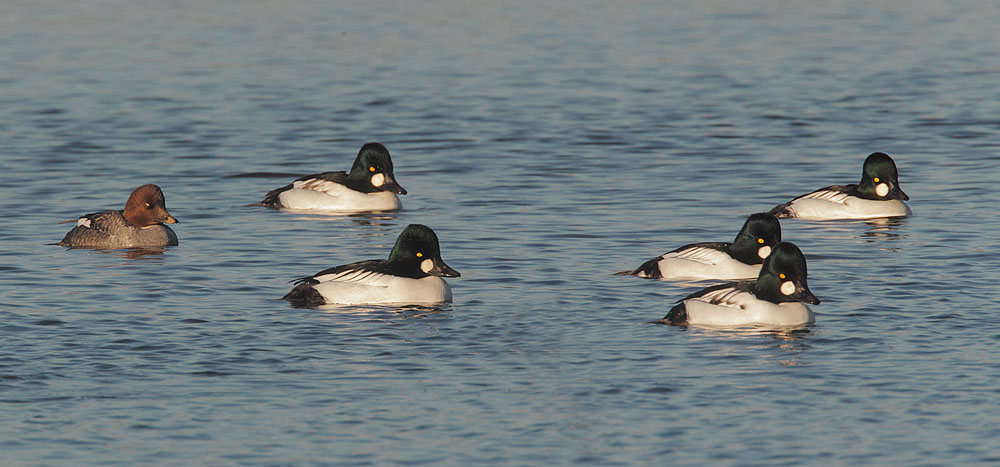 Common Goldeneye Flock