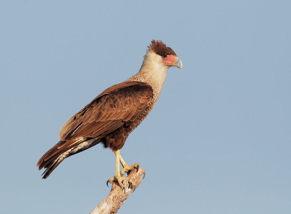Crersted Caracara
