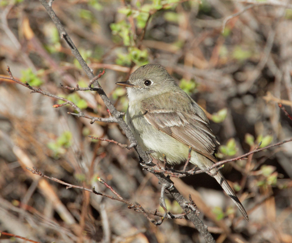 Dusky Flycatcher, 6/10/10, Yuba Pass summit, Sierra Co