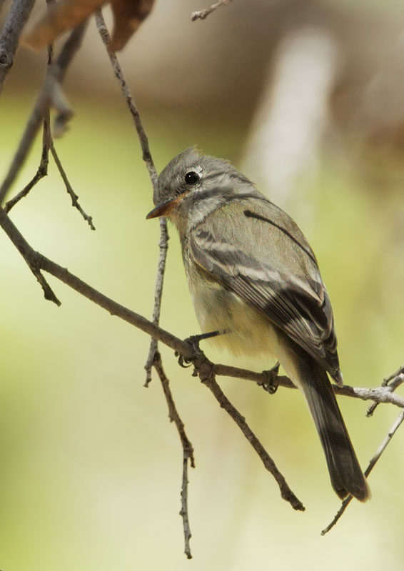 Dusky Flycatcher, 4/26/11, East Turkey Creek, eastern Chiricahuas, AZ