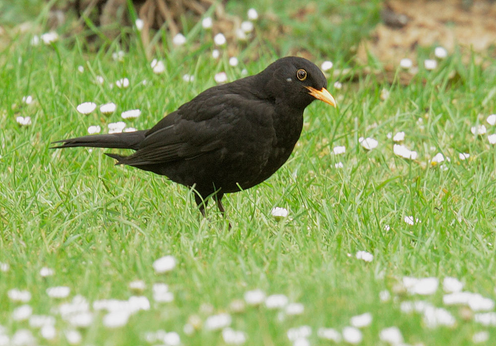Eurasian Blackbird, male, 5/6/11, Regent's Park, London
