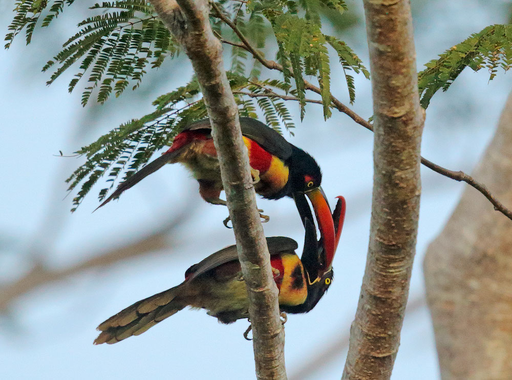 Fiery-billed Aracaris