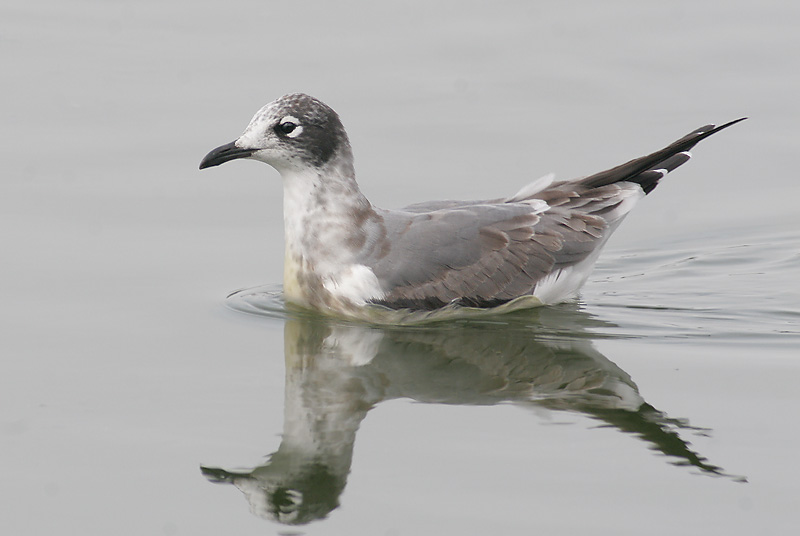 Franklin's Gull, first winter, 9/30/06, Sunnyvale WPCP