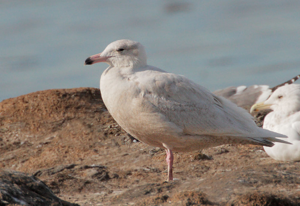 Glaucous Gull, first cycle, 3/15/10,               Edwards NWR, Alviso