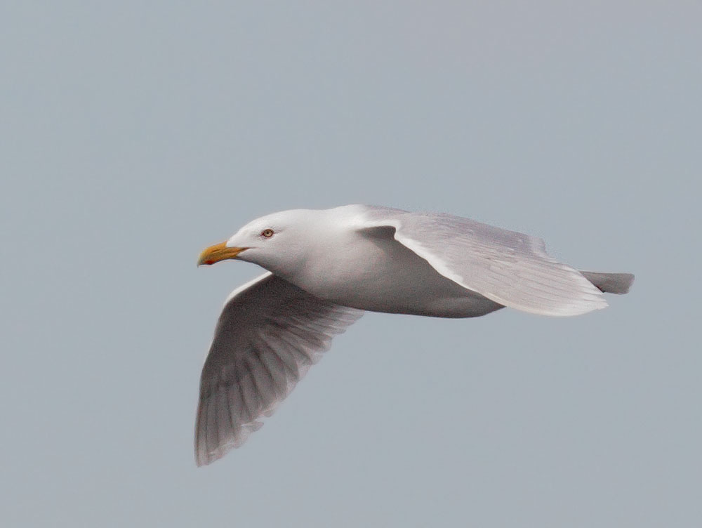 Glaucous Gull, flying, 5/30/11,               Council Road, Nome, AK