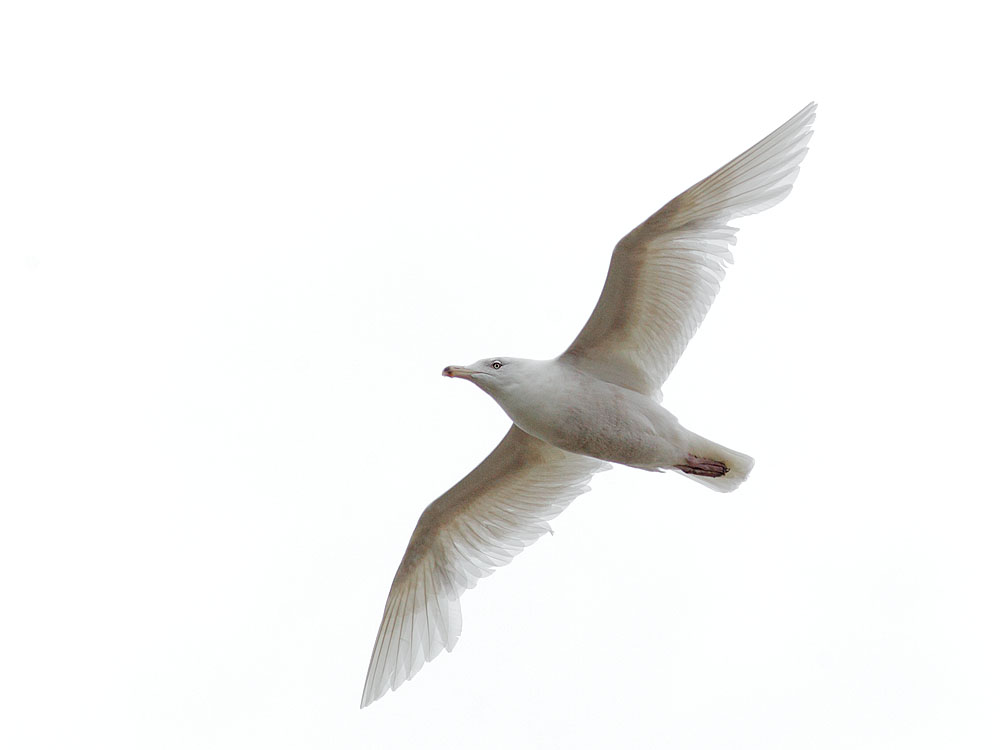 Glaucous Gull, third cycle, flying,               6/4/11, Nome, AK
