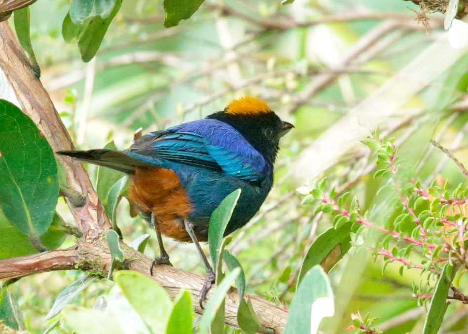 Golden-crowned Tanager