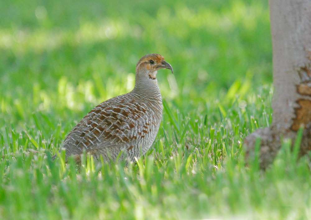 Gray Francolin, 1/5/11, Puako, Big Island, HI