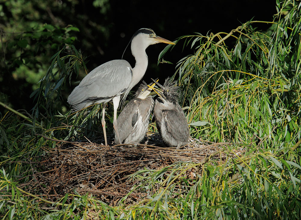 Gray Heron at nest, with two chicks, 5/14/11, Regent's Park, London