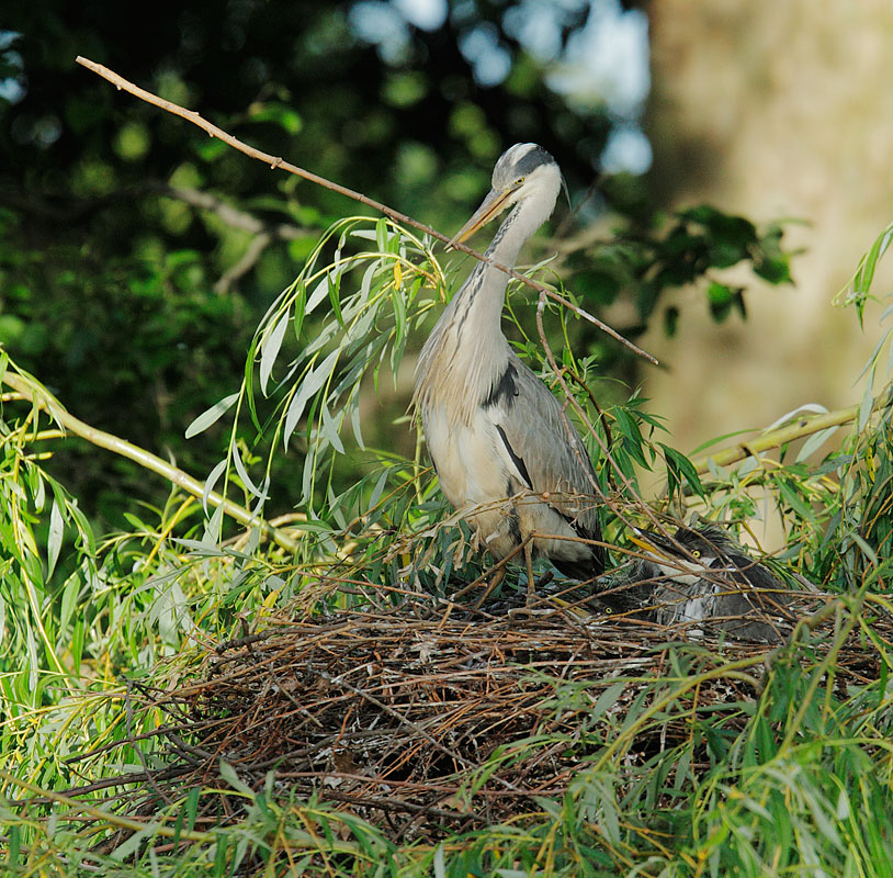 Gray Heron, with chick, adding to nest, 5/9/11, Regent's Park, London