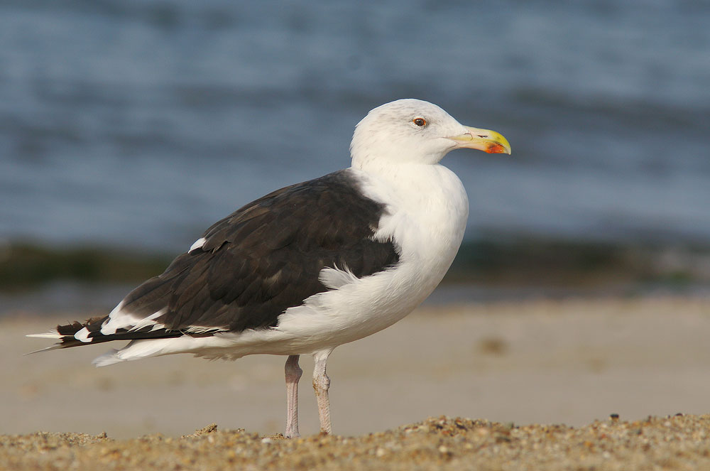Great Black-backed Gull, 9/17/05, Hammonasset State Beach, Madison, CT