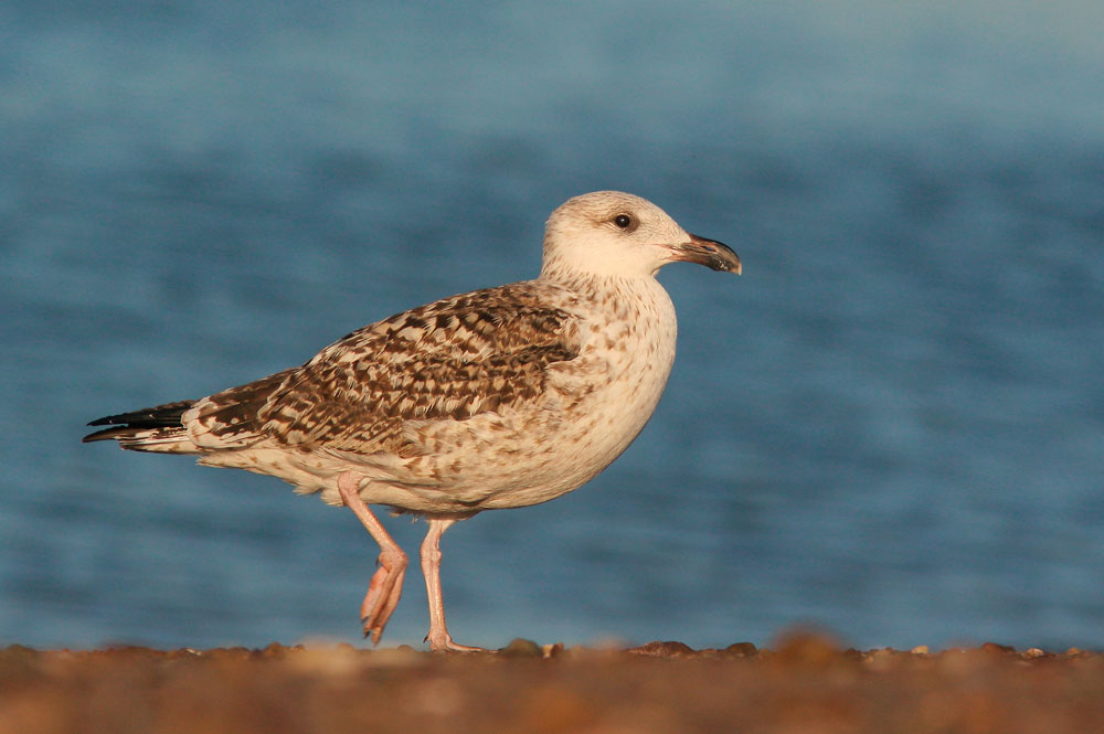 Great Black-backed Gull, first cycle, 9/18/05, Lighthouse Park, New Haven, CT