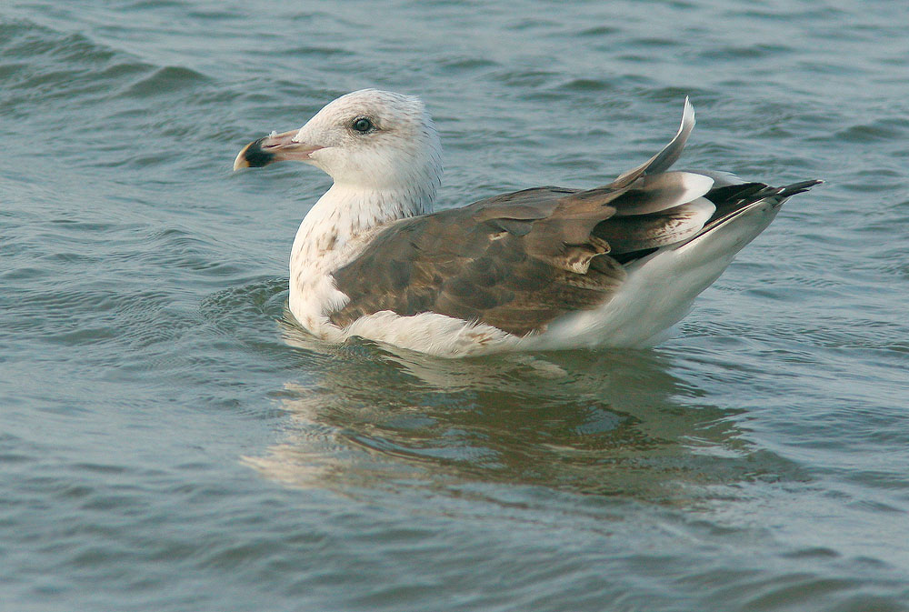 Great Black-backed Gull, third cycle, 9/17/05, Hammonasset State Beach, Madison, CT