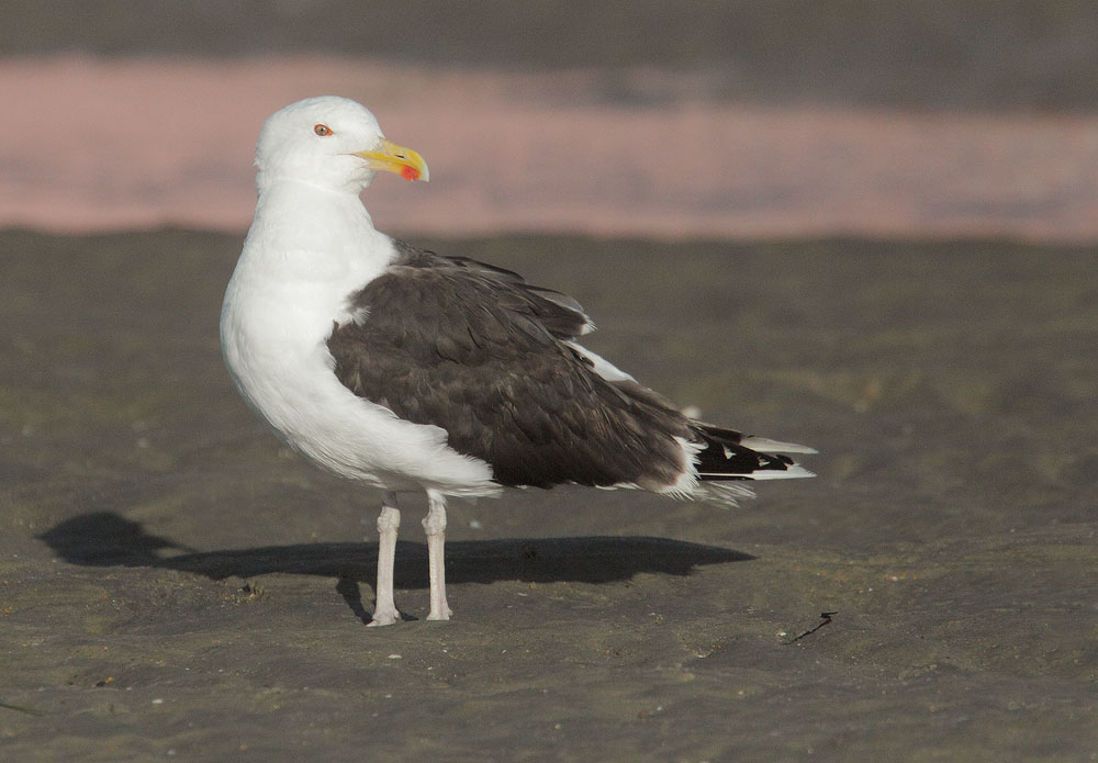 Great Black-backed Gull, breeding plumage, 7/9/10, Revere Beach, MA