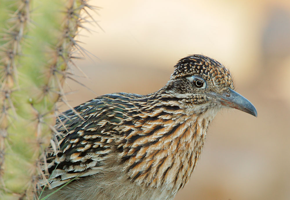Greater Roadrunner, 4/18/09, Pond at Elephant Head, Chino Canyon, AZ
