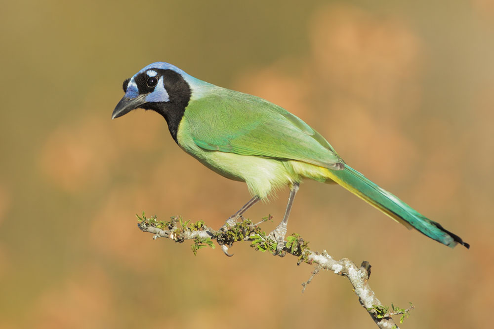 Green Jay, 3/1/11, Ramirez Ranch, Roma. TX