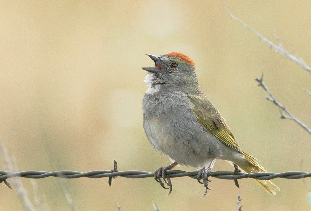 Green-tailed Towhee, singing male, 6/17/05, Sierra Valley, Plumas Co