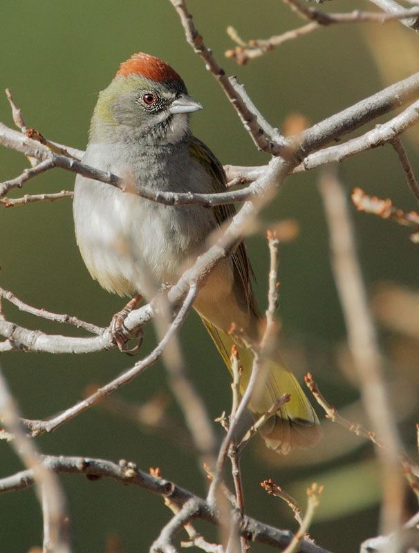 Green-tailed Towhee, 4/25/11, Cave Creek Ranch, Portal, AZ