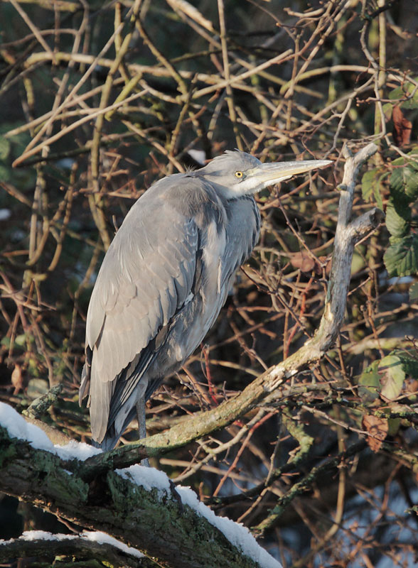 Gray Heron, 12/22/09, Clissold Park, London, UK