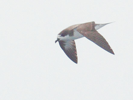 Hawaiian Petrel