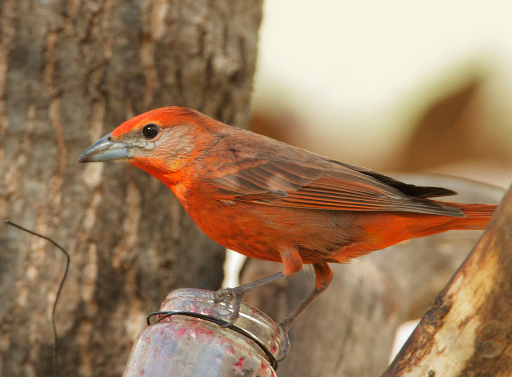 Hepatic Tanager  male  41809 Hepatic Tanager