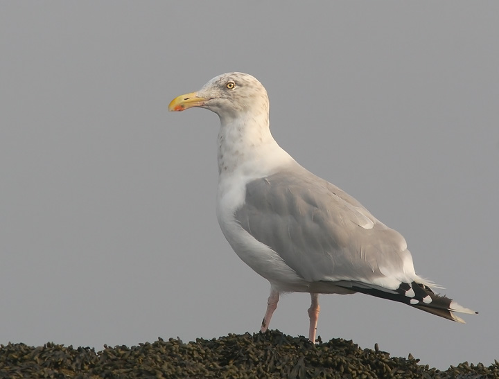 Herring Gull, adult winter, 9/17/05, Lighthouse Park, New Haven, CT