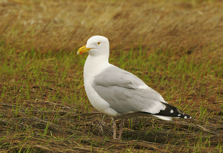 Herring Gull, adult breeding, 5/9/05, Chatham, MA