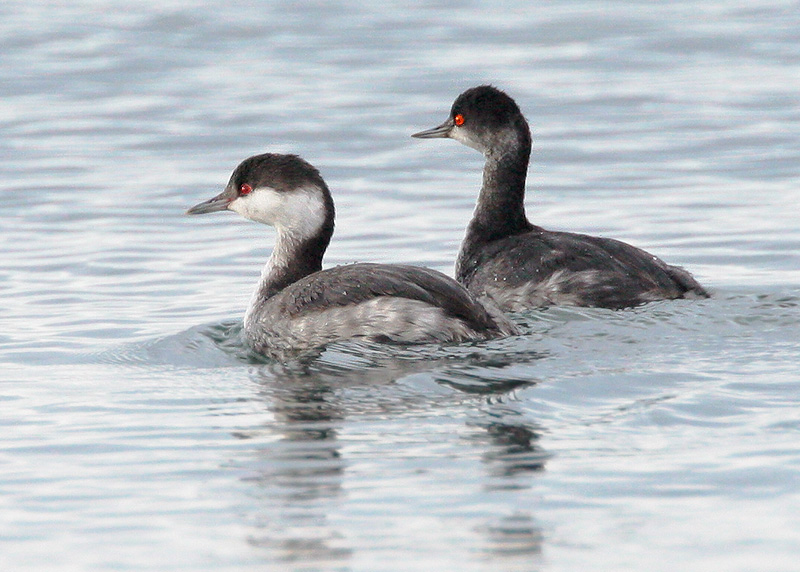 Horned and Eared Grebes