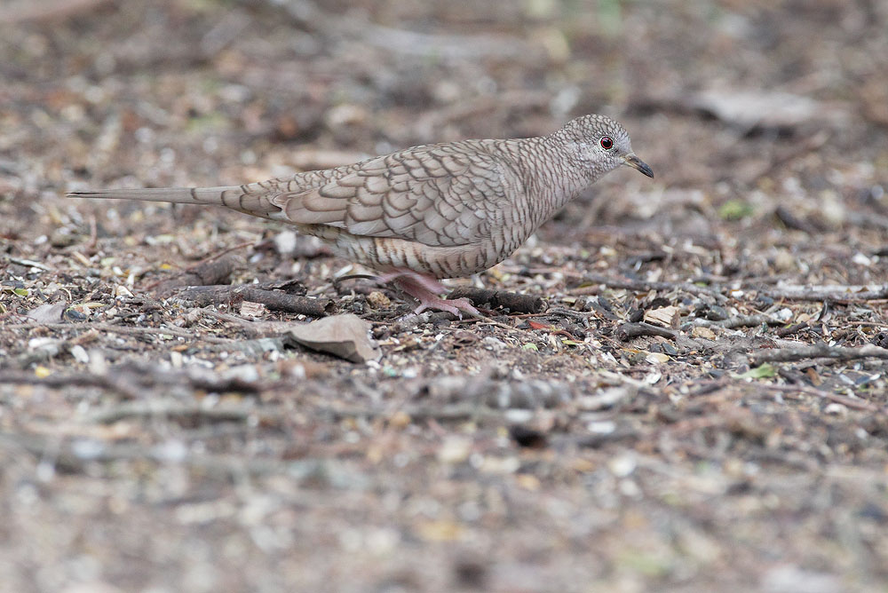 Inca Dove, 2/26/11, Martin Refuge, Edinburg, /tX