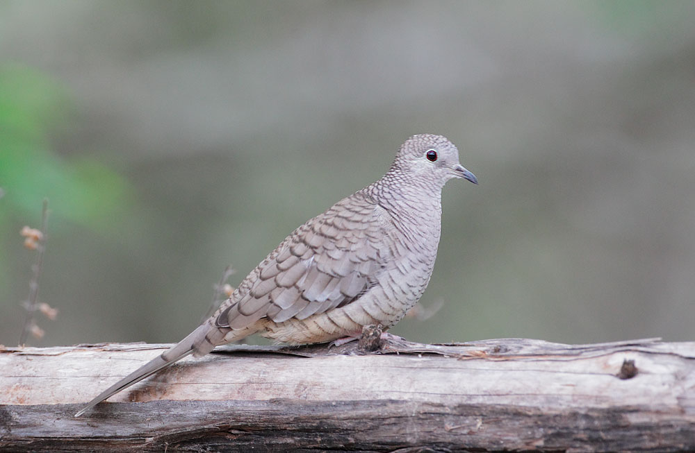 Inca Dove, 2/26/11, Martin Refuge, Edinburg, TX