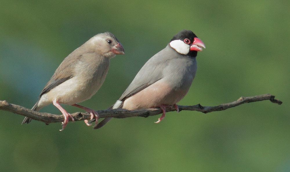 Java Sparrows, juvenile and adult, 1/5/11, Puako, Big Island, HI