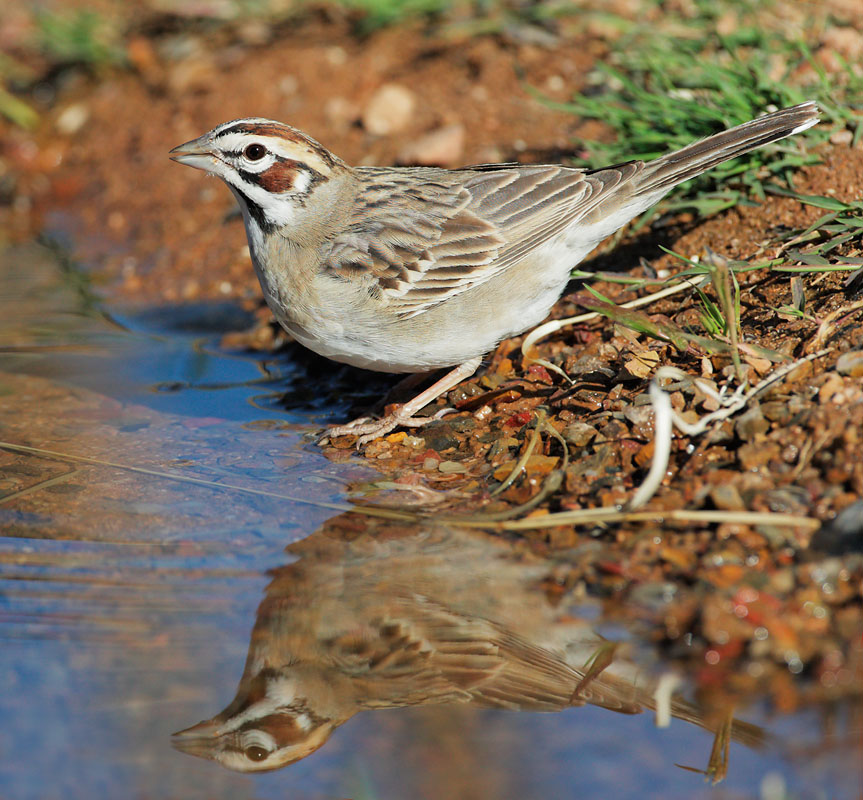 Lark Sparrow, 4/18/09, Pond at Elephant Head, Chino Canyon, AZ