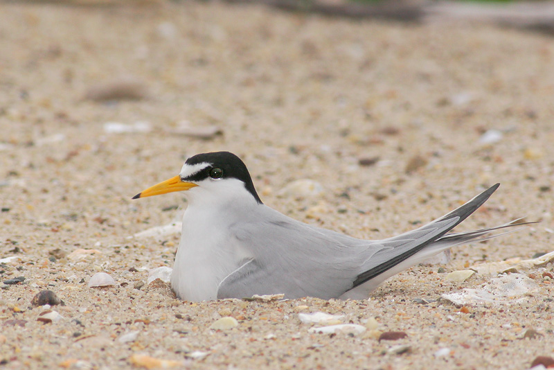 Least Tern, on nest, 6/5/06, Sandy Point, West Haven, Connecticut