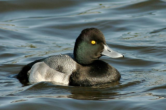 Lesser Scaup, adult male winter, 12/26/03, Palo Alto Baylands Park