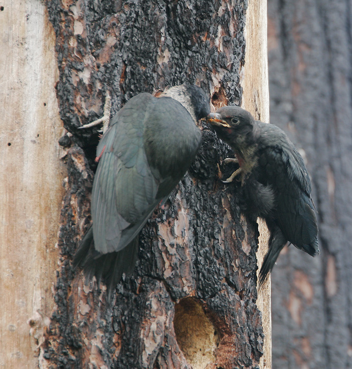 Lewis's Woodpecker, adult feeding fledgling, 7/2/07, Loyalton, Sierra Co