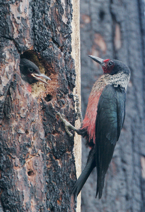Lewis's Woodpeckers, adult feeding nestling, 7/2/07, Loyalton, Sierra Co