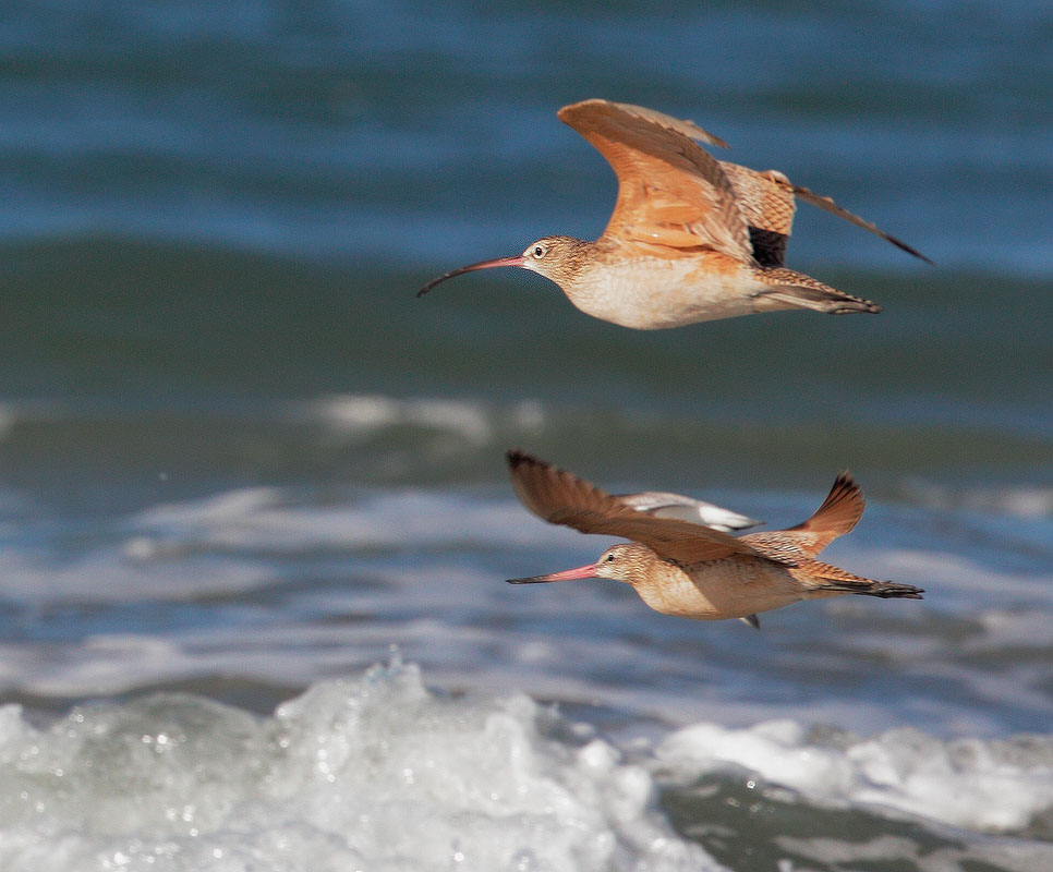 Long-billed Curlew and Marbled Godwit
