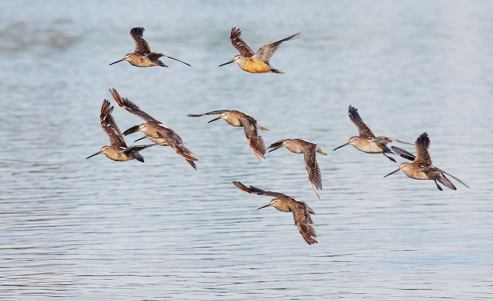 Long-billed (?) Dowitchers