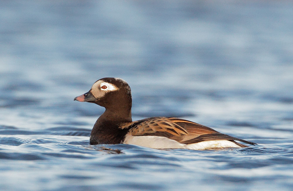 Long-tailed Duck, male, 6/3/11, East               Ponds, Nome, AK