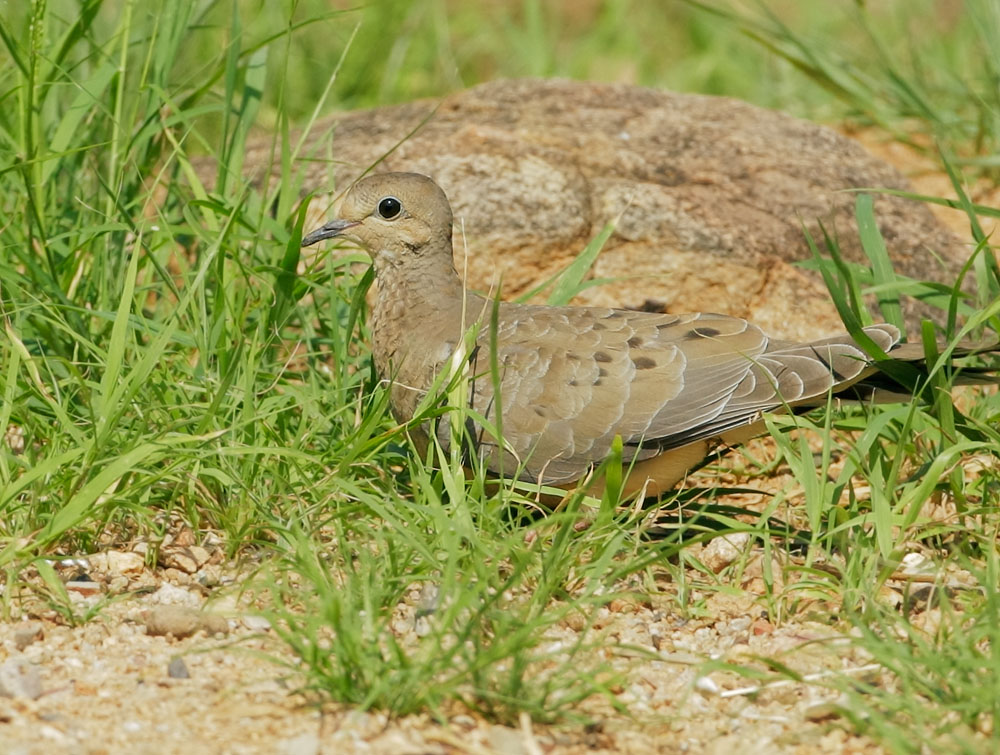 Mourning Dove, juvenile, Pond at Elephant Head, Chino Canyon, AZ