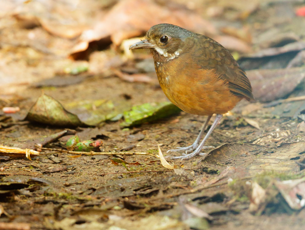 Moustached Antipitta