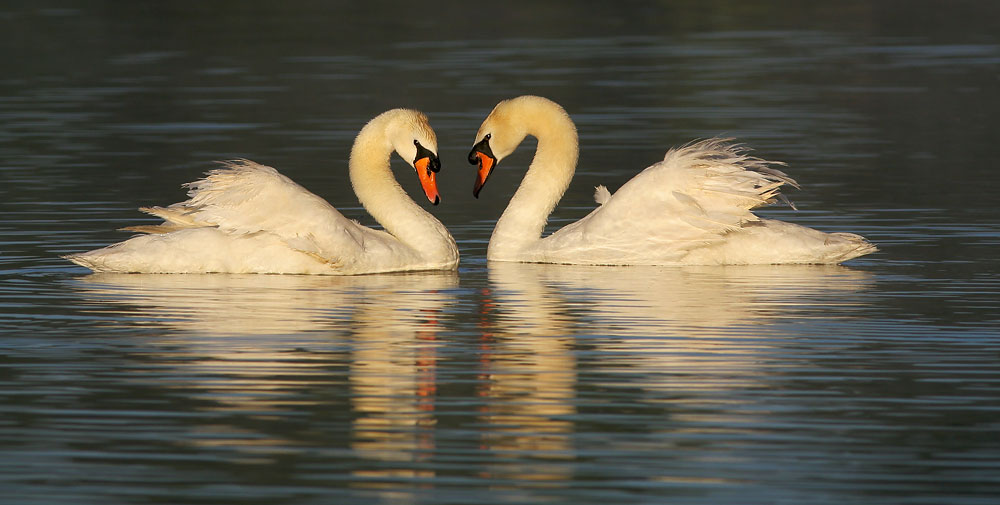 Mute Swans, captive, males facing off, 8/6/05, Stratford, Ontario