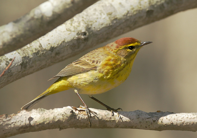 Palm Warbler, male, 5/10/05, Beech Forest, Provincetown, MA