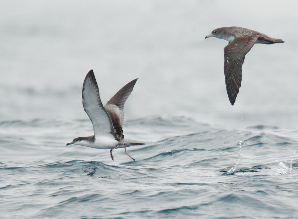 Buller's and Pink-footed Shearwaters