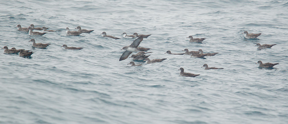 Buller's with Pink-footed Shearwaters