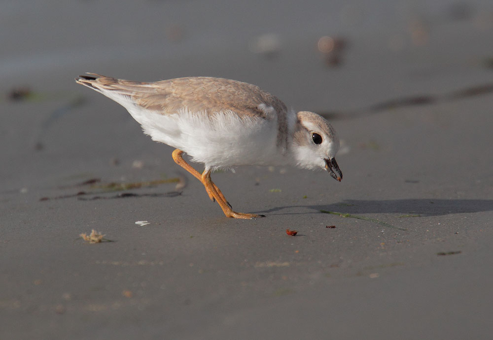 Piping Plover, juvenile, 7/9/10, Revere Beach, MA
