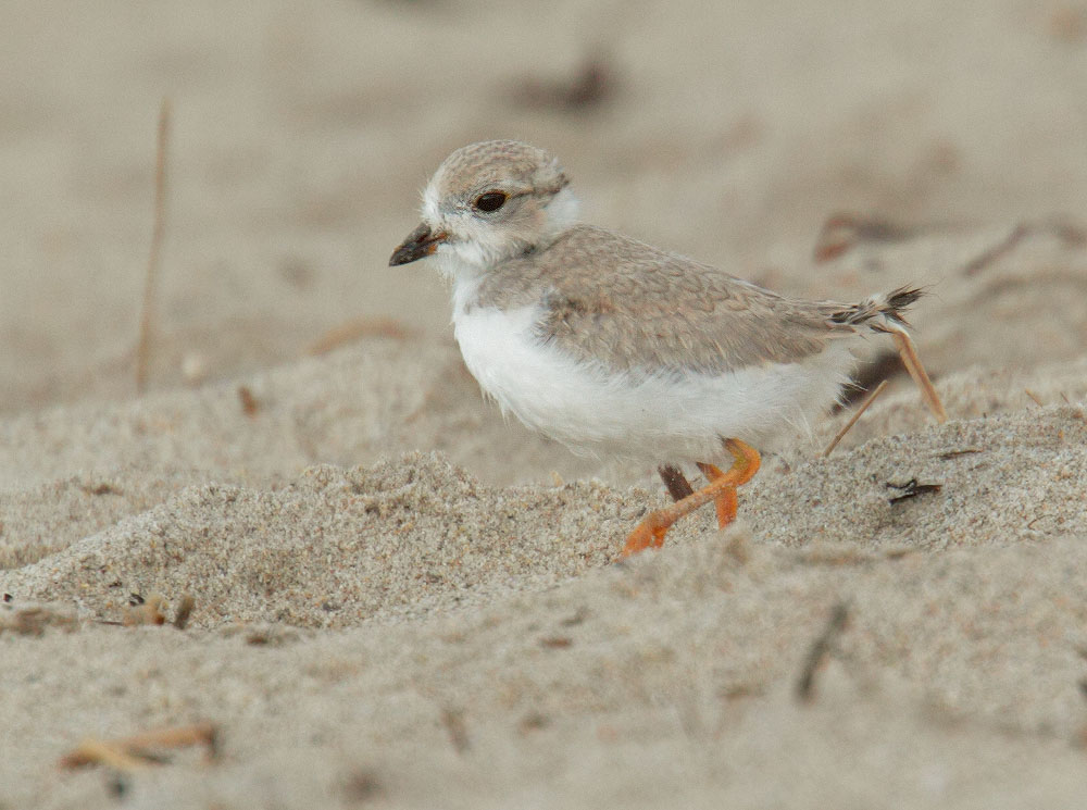 Piping Plover, downy chick, 7/9/10, Revere Beach, MA