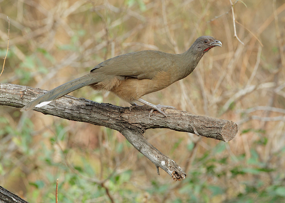 Plain Chachalaca, 2/27/11, Williams Wildscapes, Pharr, TX