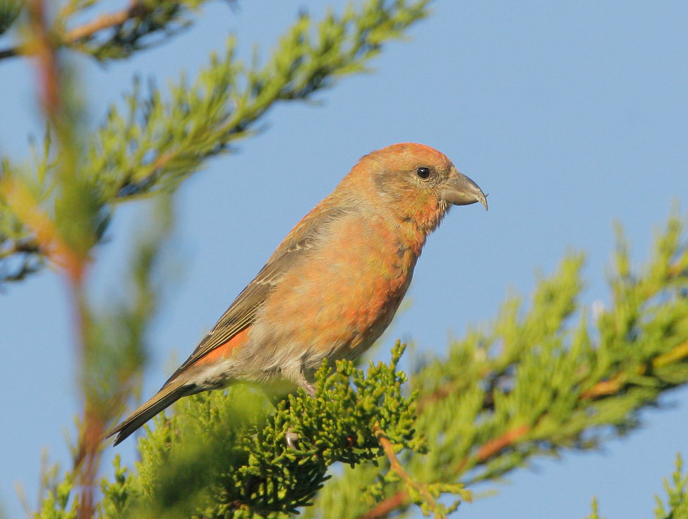 Red Crossbill, male, 11/23/07, Skylawn Cemetery, San Mateo Co